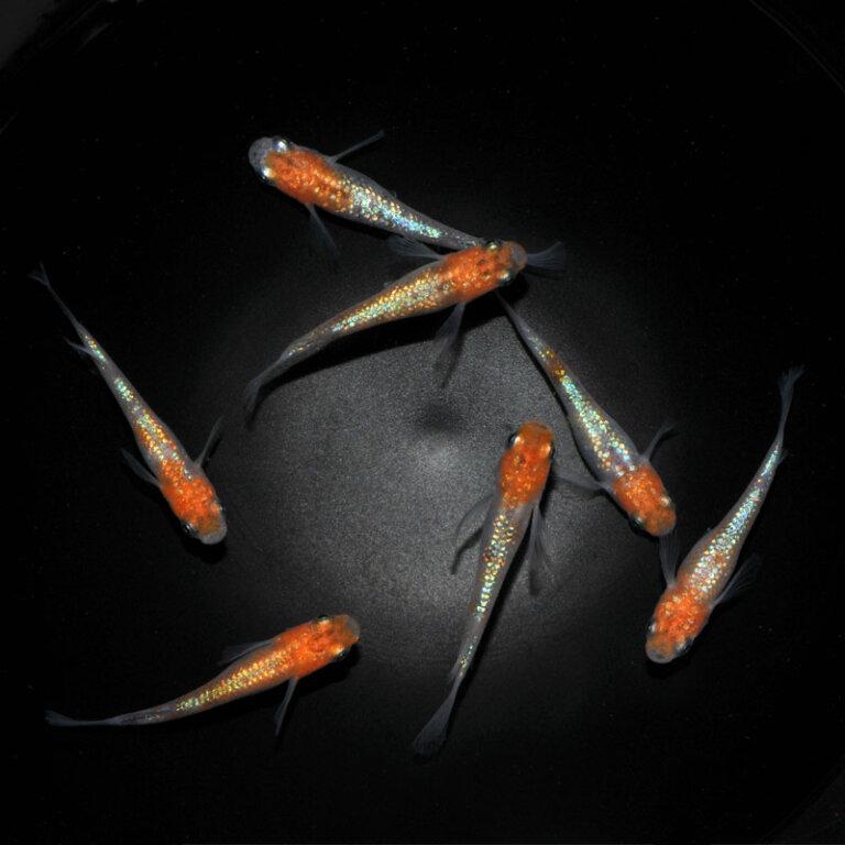 現物販売:メダカ「三色ラメ松井ヒレ長」(死着補償含む3ペア+1)